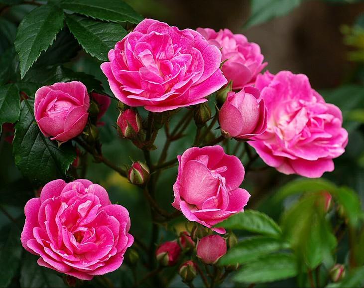 Купить уральские розы в питомнике купить тюльпаны на белой даче