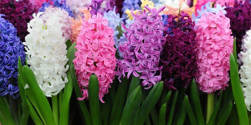 Гиацинт - домашний и садовый цветок. Выращивание и уход | 400x800
