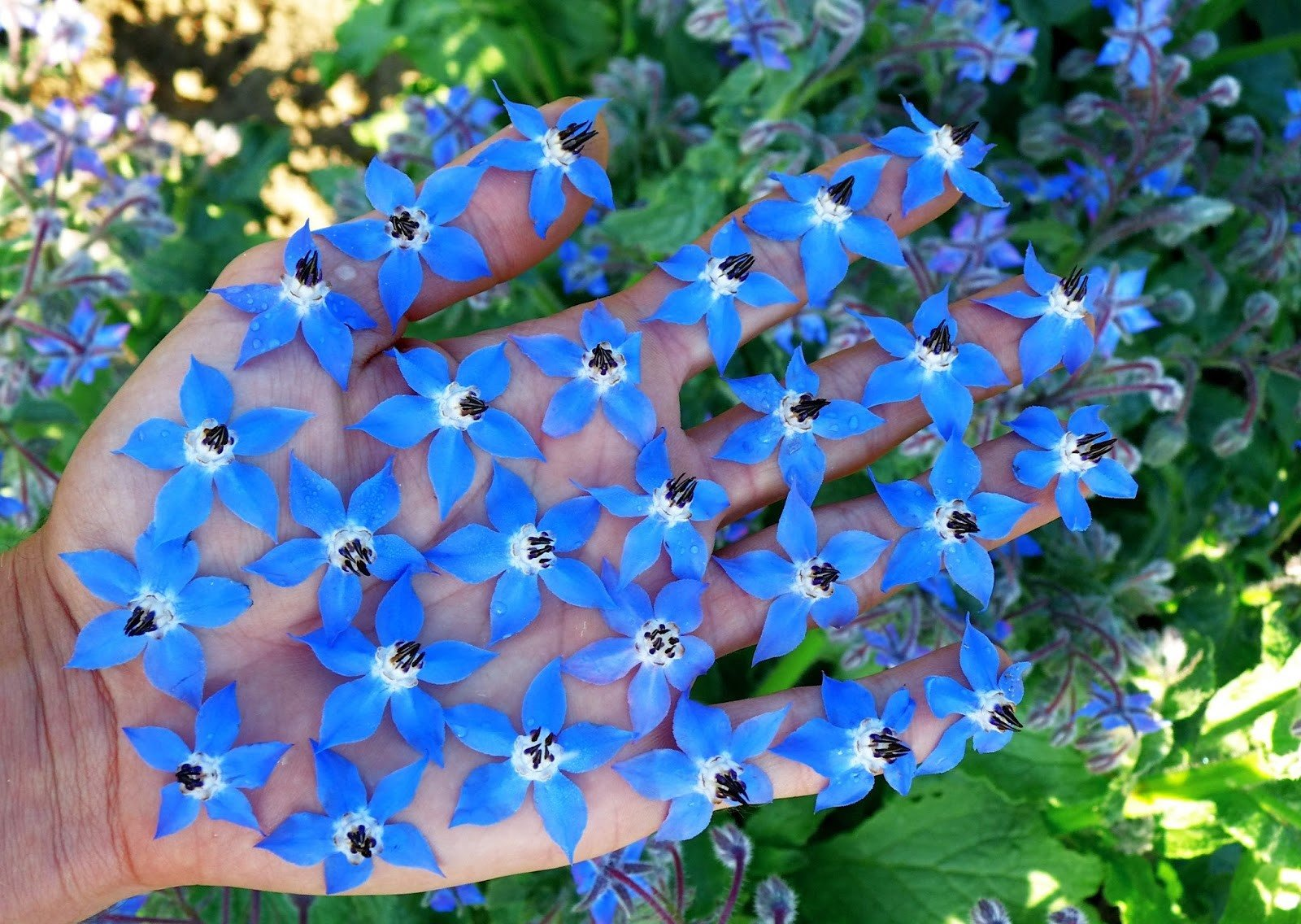 Цветы с синими цветами : названия, описание, фото 24