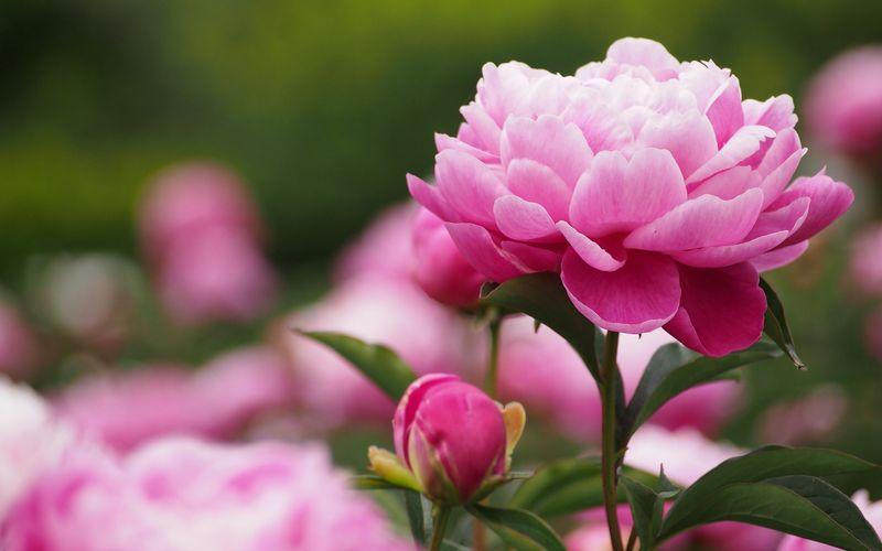 Выращивание пионов в саду или на клумбе
