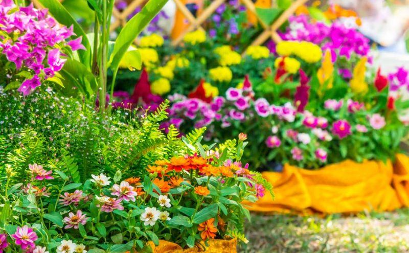 Георгина   Садовые цветы   495x800