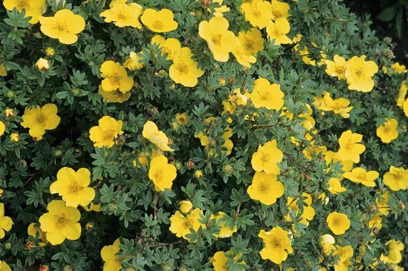 Лапчатка кустарниковая уход и выращивание полезные свойства 73